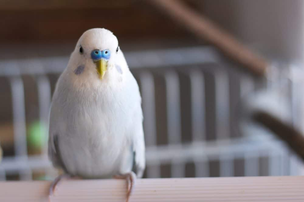 White and blue budgie parakeet