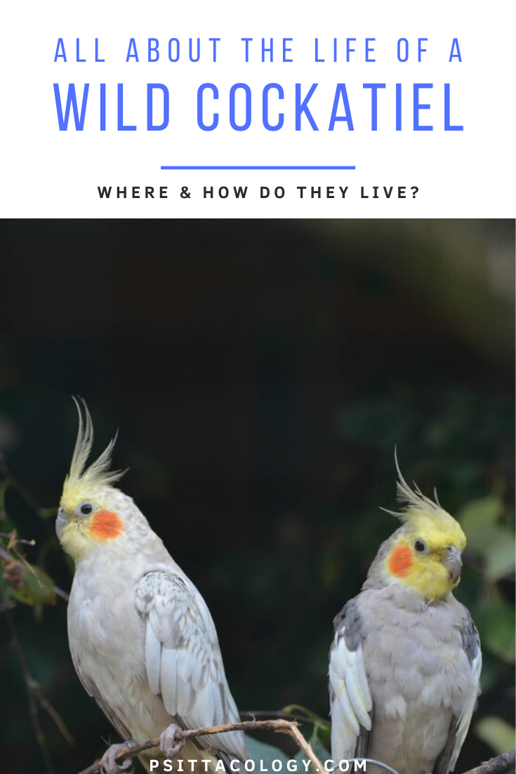 Two cockatiel parrots on a branch - All about the life of a cockatiel in the wild