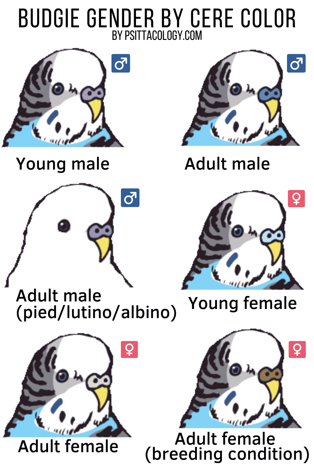 Chart explaining how to tell the gender of a budgie parakeet by the color of its cere | Full guide on how to tell the gender of a parakeet