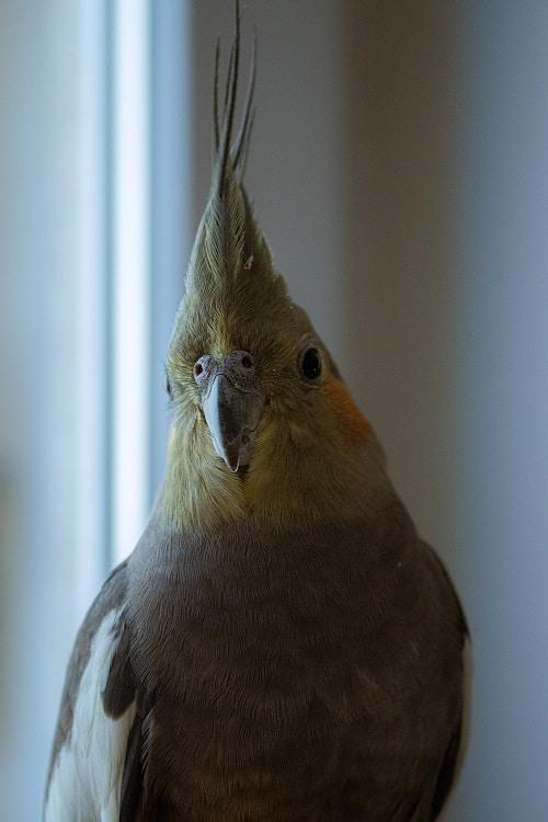 Gray female cockatiel (Nymphicus hollandicus) | Guide on the life span of a cockatiel
