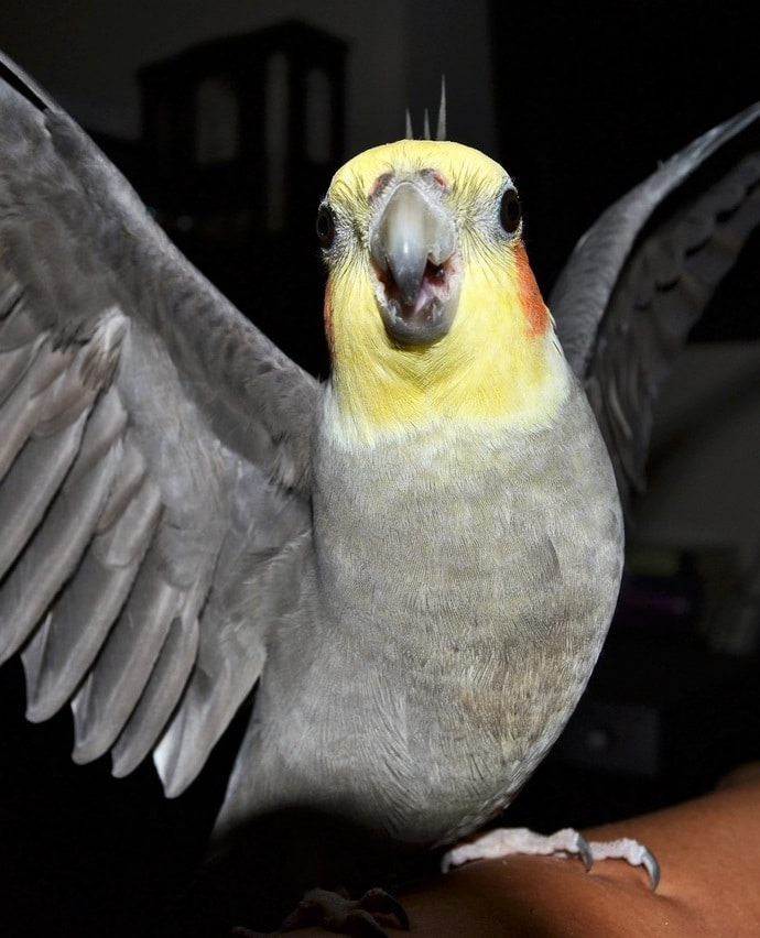 Gray cockatiel with yellow face spreading its wings.