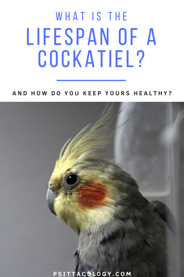 Gray cockatiel with yellow face | Guide on the life span of a cockatiel