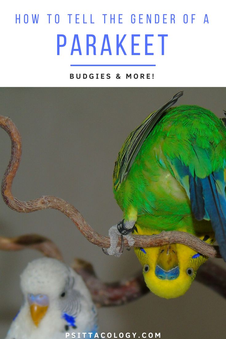 Green and yellow budgie hanging upside down with white and blue budgie in the background | Full guide on how to tell the gender of a parakeet