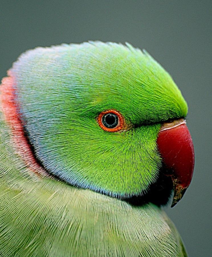 Green Indian ringneck parakeet