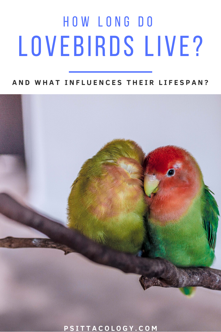 Two lovebirds (genus Agapornis) perched on branch and snuggled up against white background | Guide on the lifespan of a lovebird