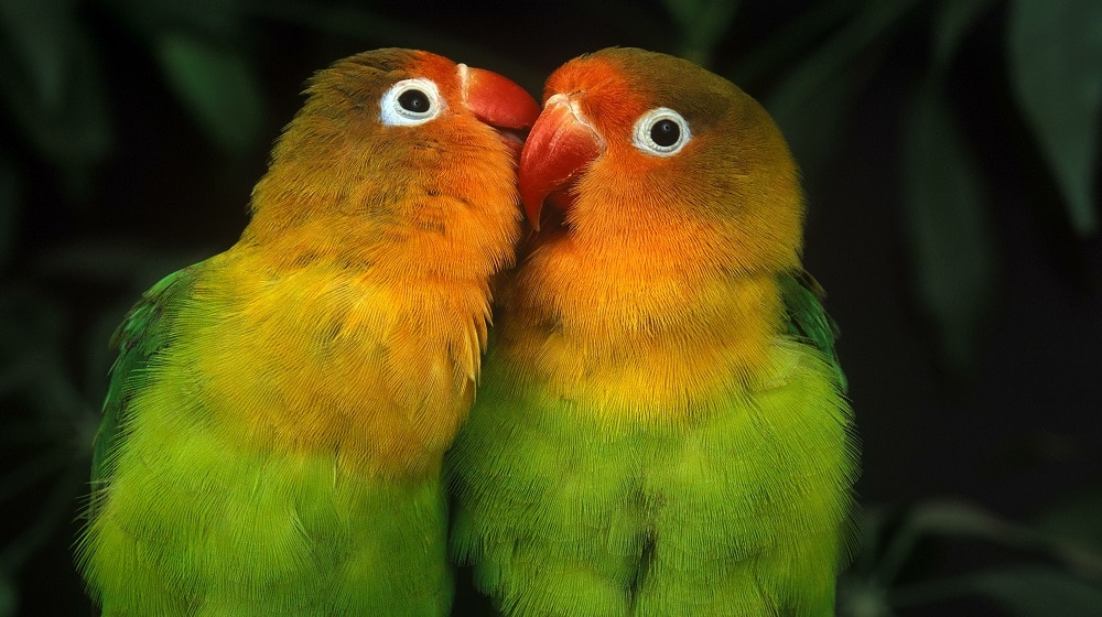 Two lovebirds (genus Agapornis) preening each other | What is the life span of a lovebird?