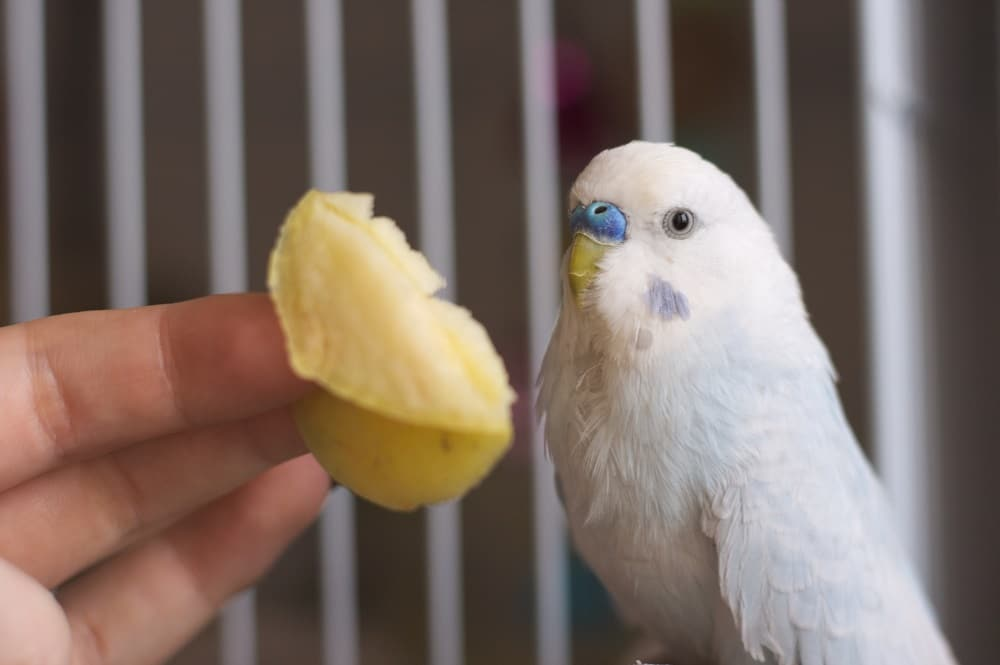 White and blue budgerigar with apple - Can parakeets eat fruit?