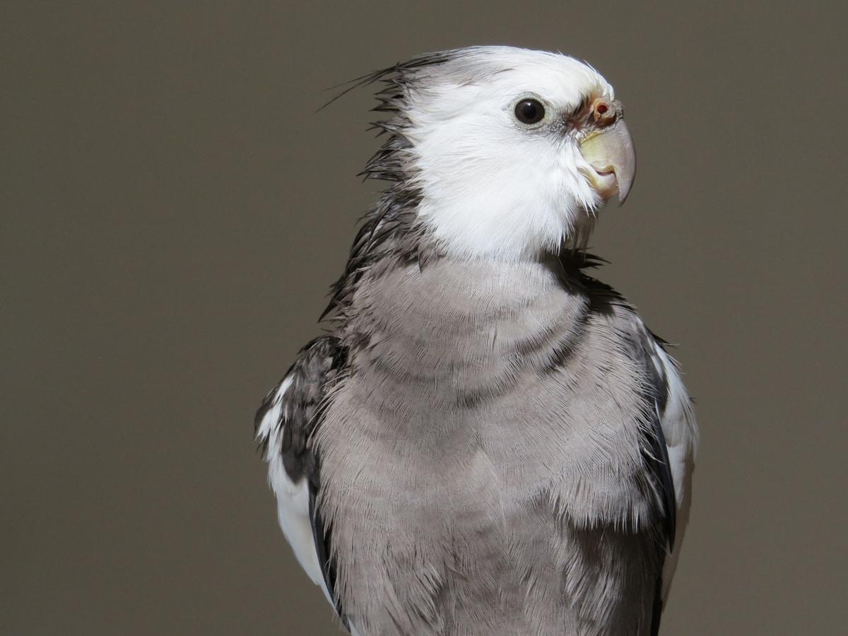Grey cockatiel bird - All about cockatiels in the wild