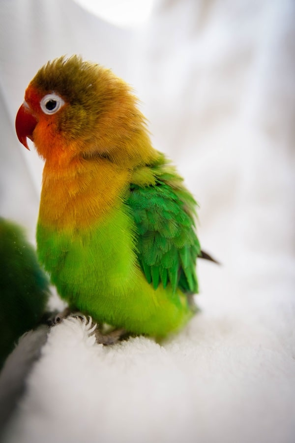 Green and orange lovebird on white background | Guide to the lifespan of a lovebird