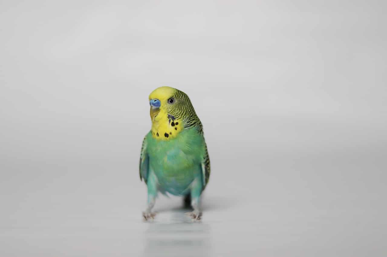 Budgerigar parakeet on white background