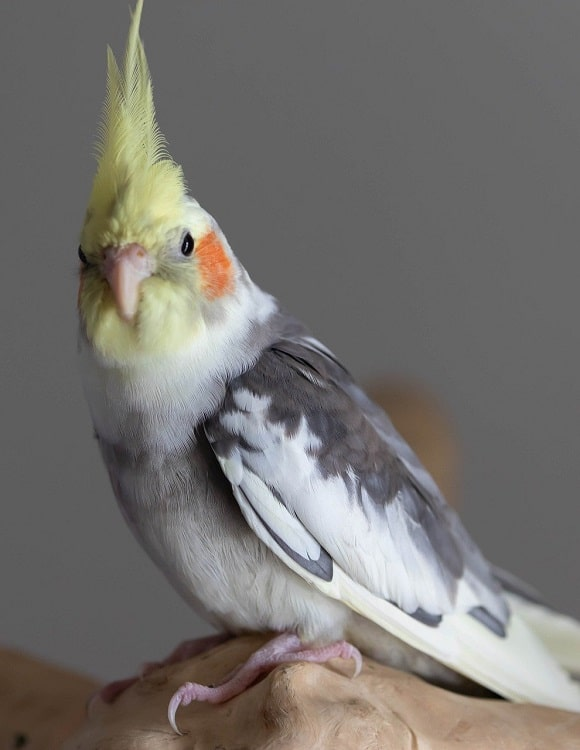 Light grey cockatiel with mottled dark grey/white wings perched on wood.