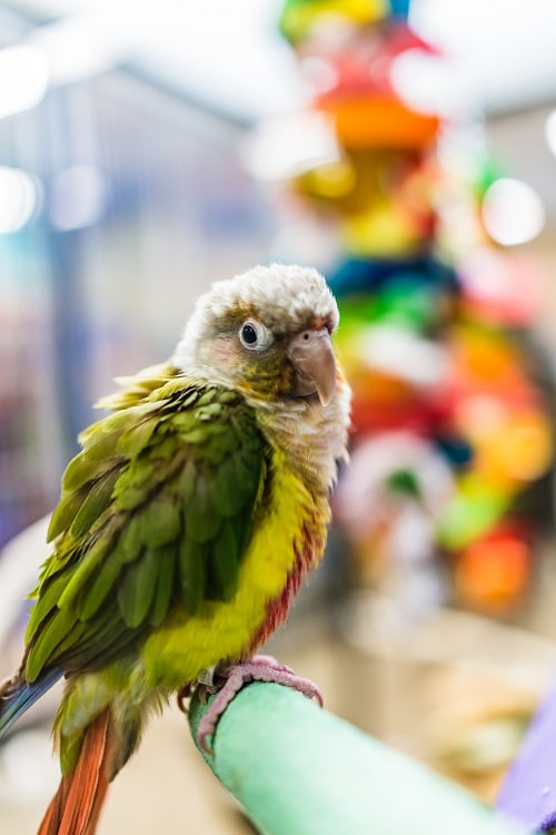 Fancy Green-Cheek Conure parrot perched on branch