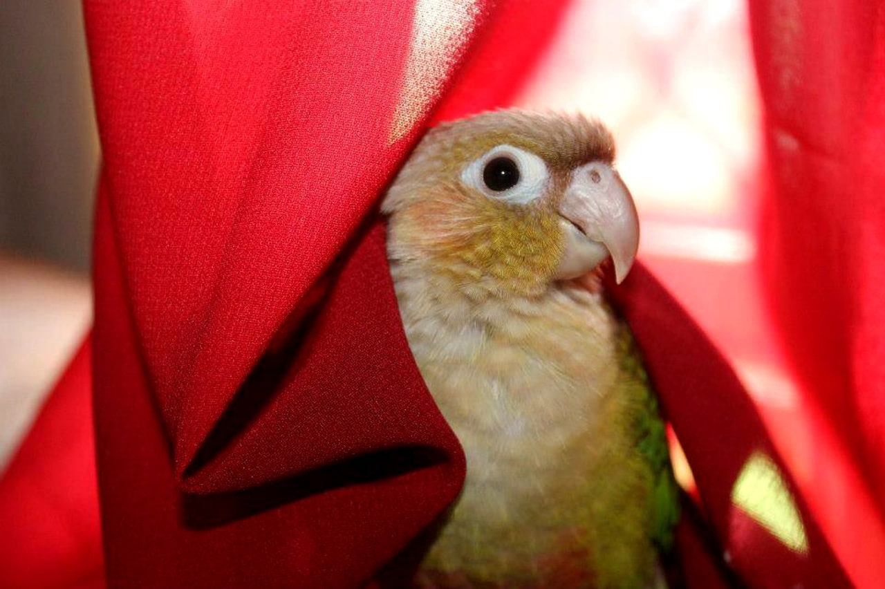 Green cheek conure hiding in red fabric