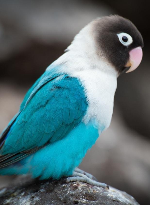 Masked lovebird (Agapornis personata), blue mutation