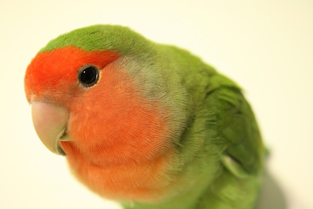 Peach faced lovebird on white background.