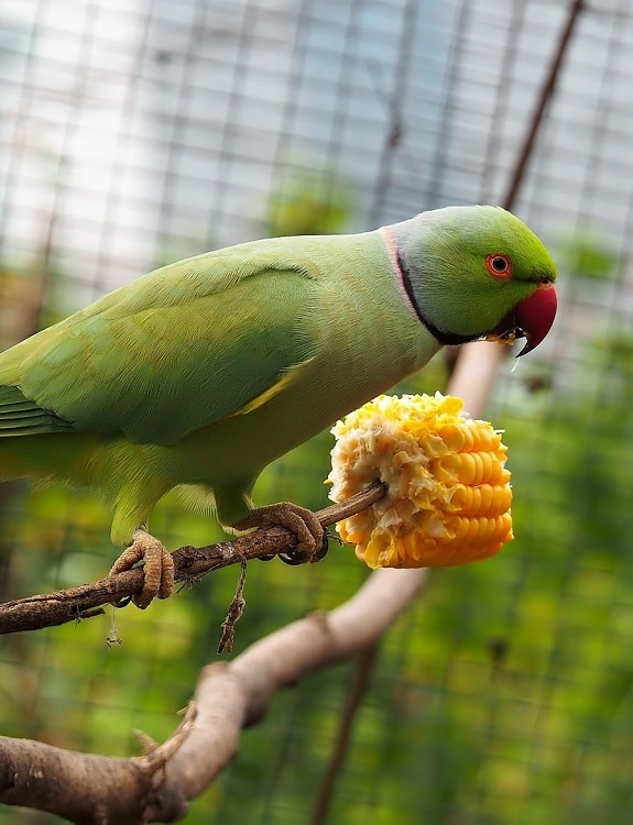 Green male ring-necked parakeet perched on branch in aviary eating corn on the cob.
