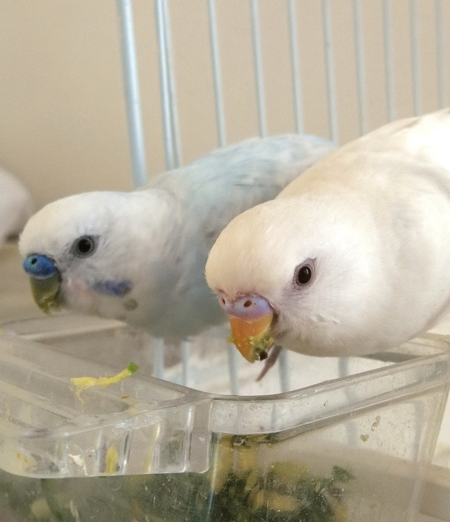 One white and one light blue budgerigar eating from food bowl.
