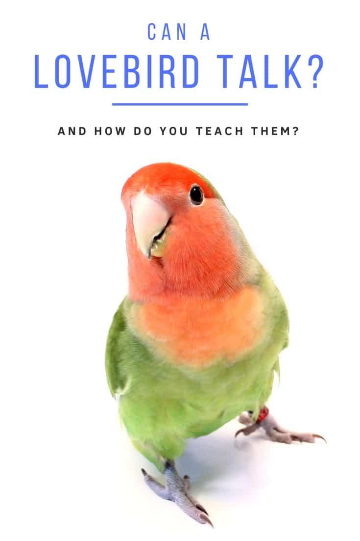 Peach faced lovebird (Agapornis)   Do lovebirds talk?