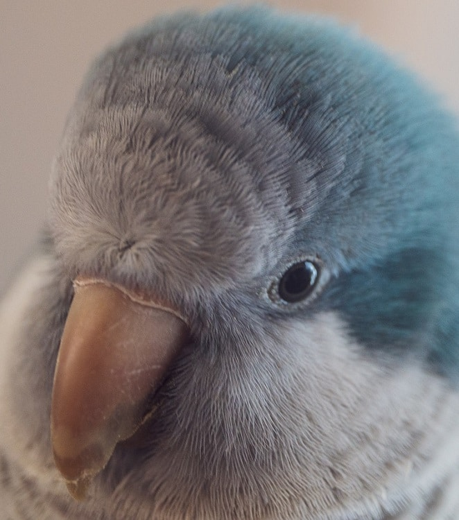 Close-up of blue quaker parrot (monk parakeet)