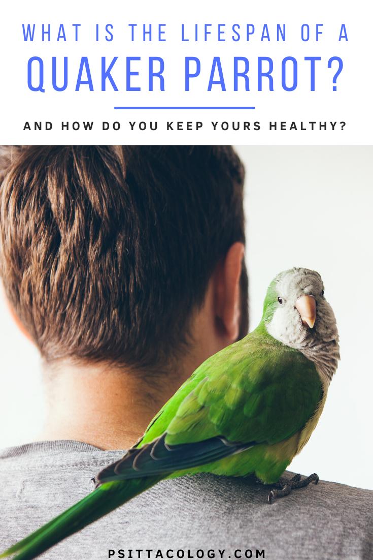 Green quaker parrot (monk parakeet) sitting on man's shoulder. | Full guide on quaker parrot lifespan