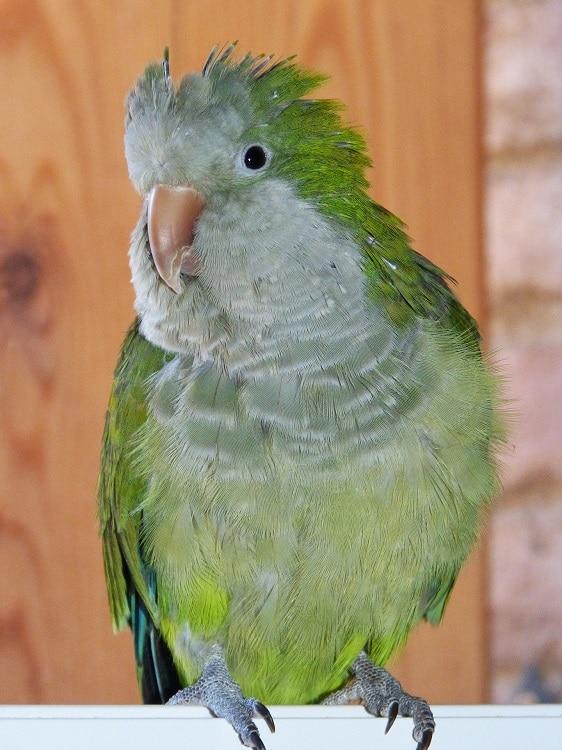 Green quaker parrot (monk parakeet)