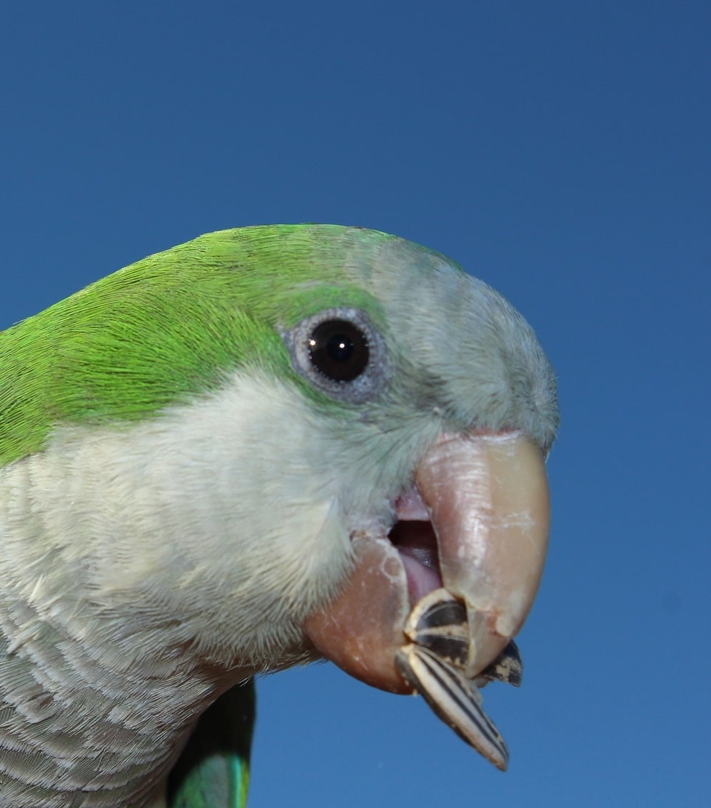 Monk parakeet holding sunflower seeds in beak.