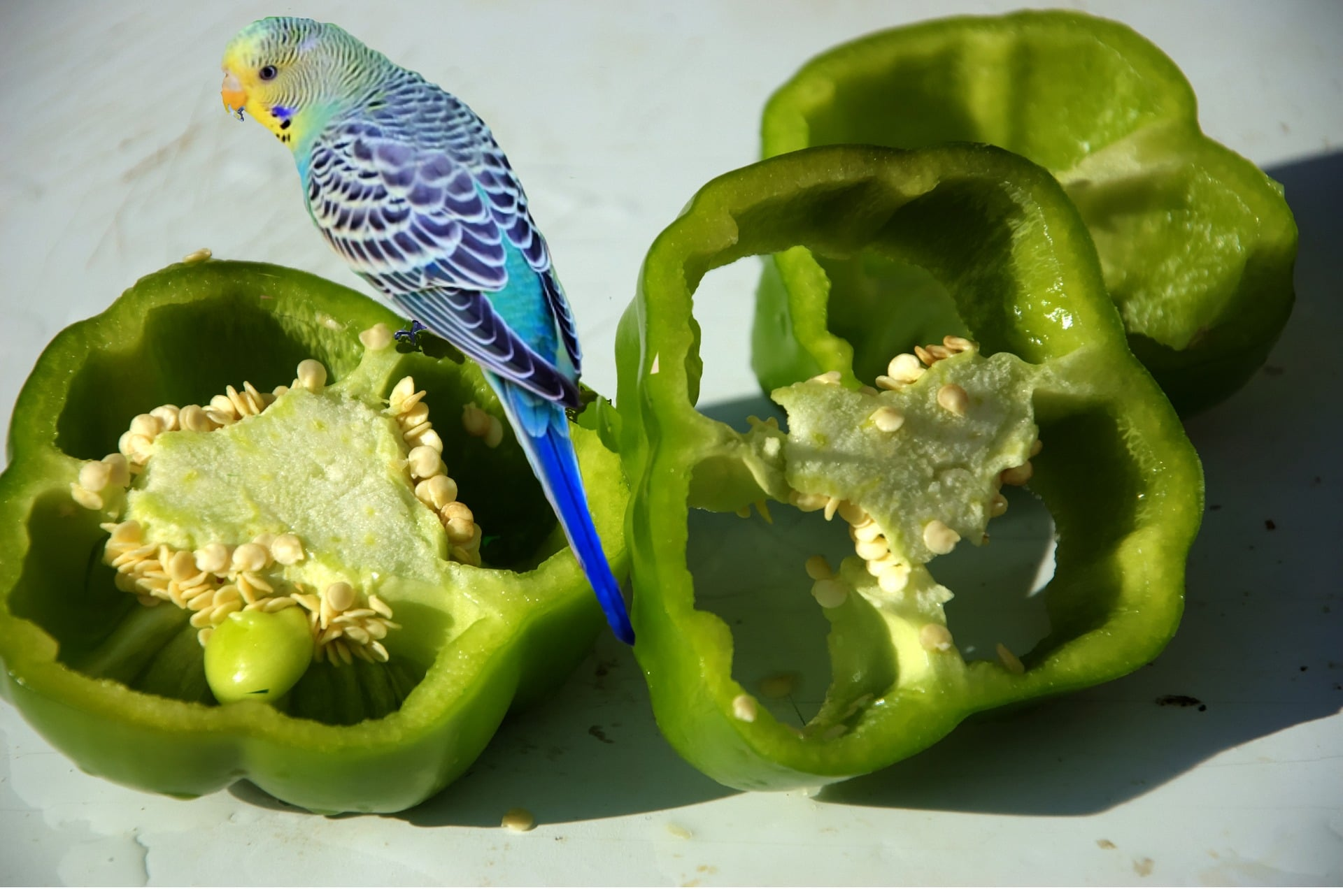 Blue budgerigar with yellow face sitting on slices of green bell pepper, pictured on white background.