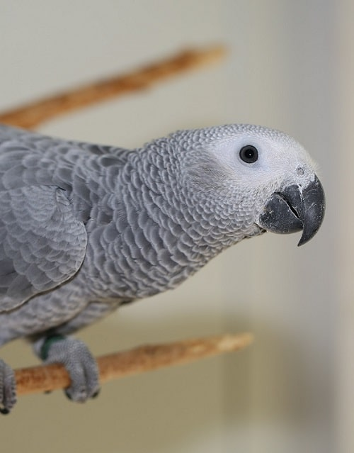 Curious African grey parrot (Psittacus).
