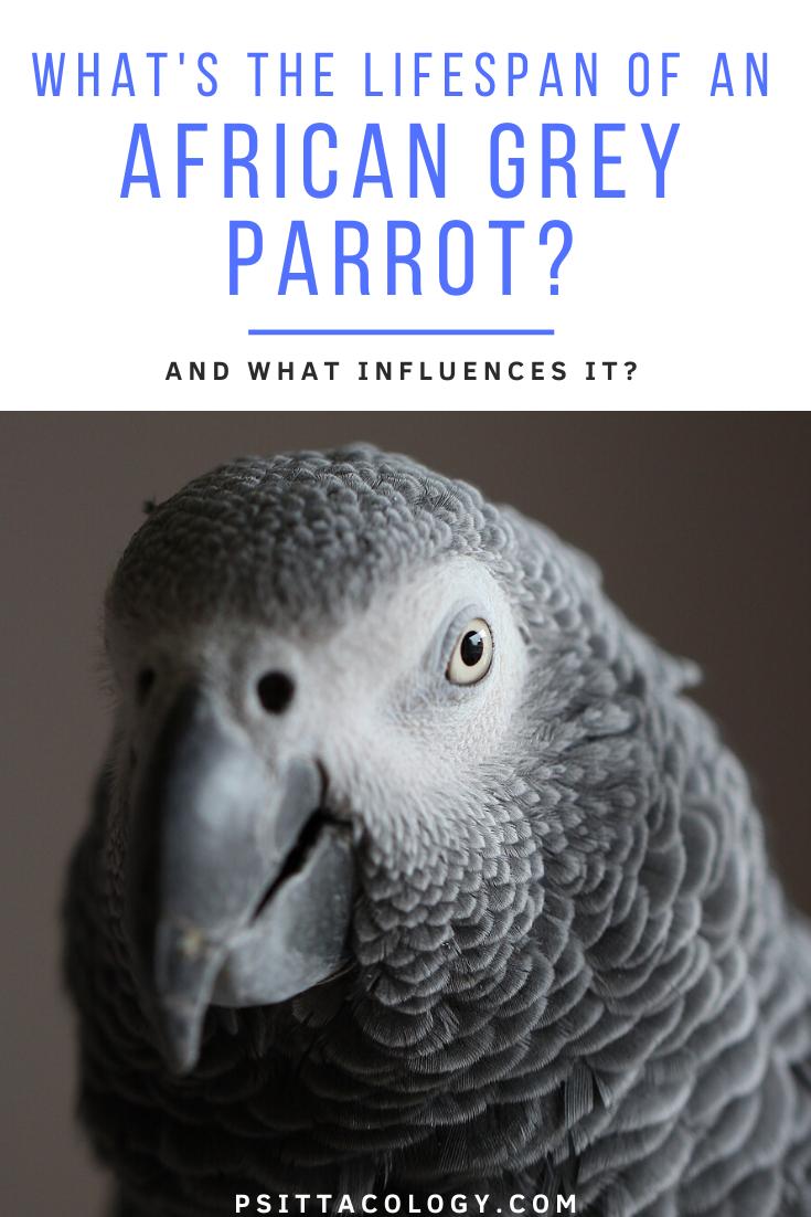 Shallow focus of an African grey parrot (Psittacus) | Guide on African grey parrot lifespan