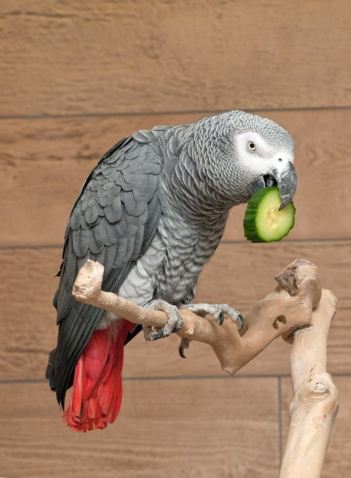 Perched African grey parrot (Psittacus) eating a cucumber slice.