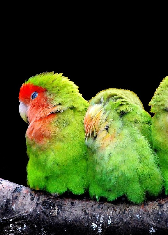 Two green lovebirds perched on a branch, snuggling and sleeping.