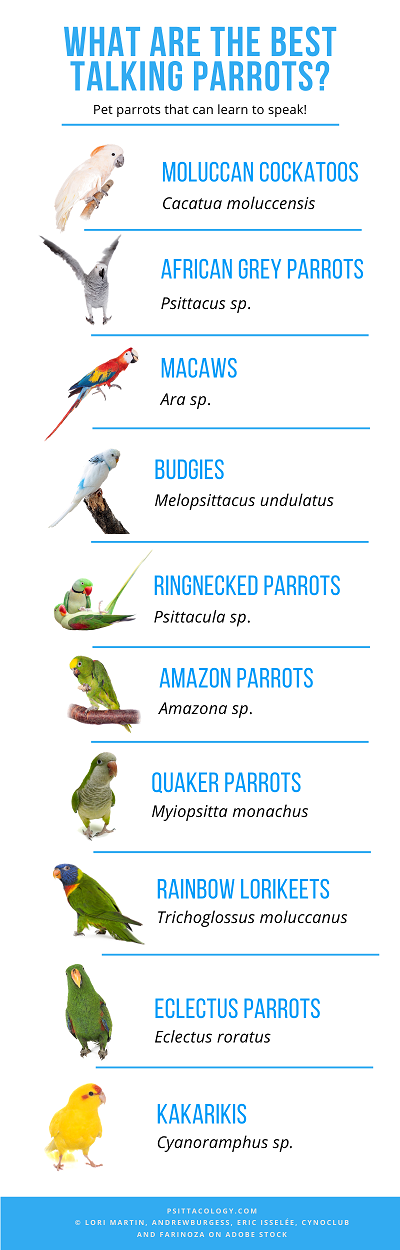 Infographic showing the best talking parrot species.