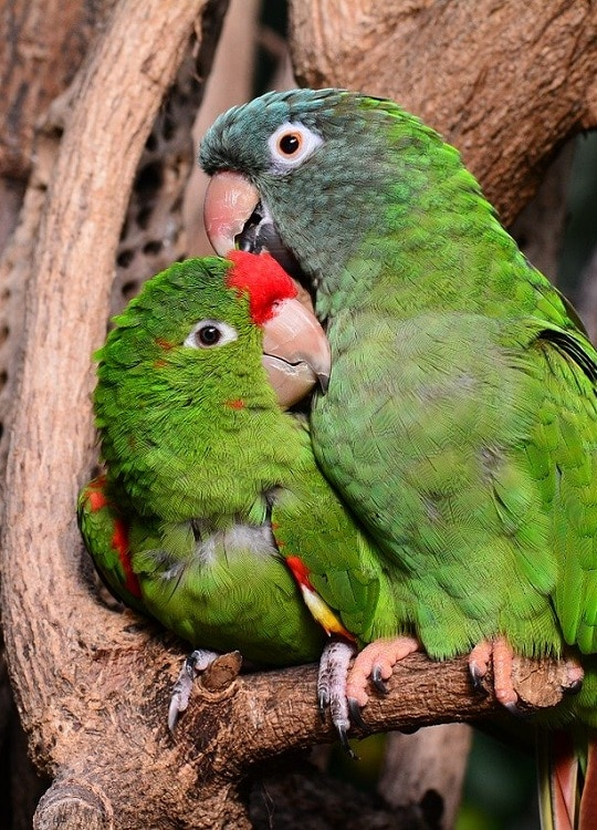 Scarlet fronted conure and blue crowned conure (Psittacara wagleri and Thectocercus acuticaudatus) cuddled up on a branch.