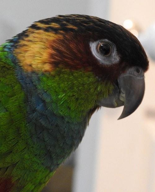 Blue throated conure (Pyrrhura cruentata), a South American parrot species native to Brazil.