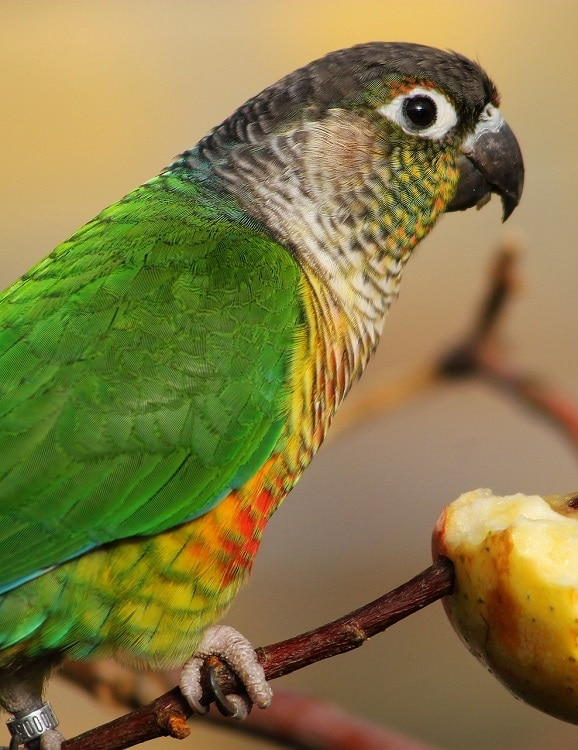 Green cheeked conure (Pyrrhura molinae) perched on a thin branch that also skewers a piece of apple.