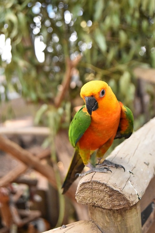 Jenday conure (Aratinga jandaya) sat on a wooden fence structure. | Guide to types of conures