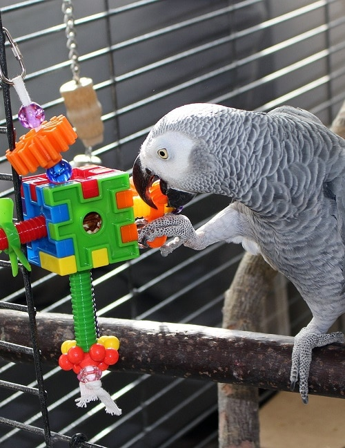 African grey parrot (Psittacus) perched in cage playing with foraging toy.