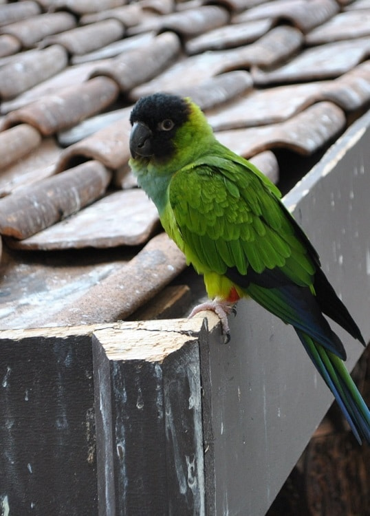 Nanday conure (Aratinga nenday) sat on a rooftop. | Guide to types of conures