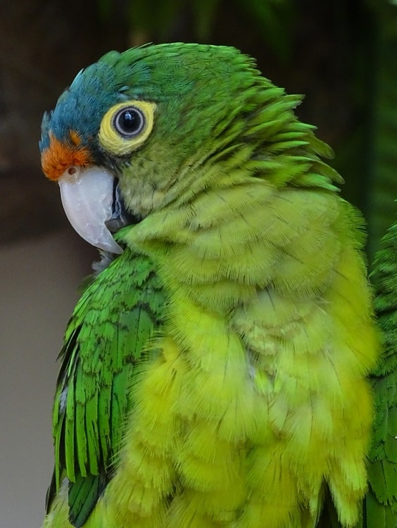 Orange-fronted conure (Eupsittula canicularis).