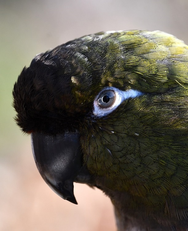 Close-up of Patagonian conure (Cyanoliseus patagonus).