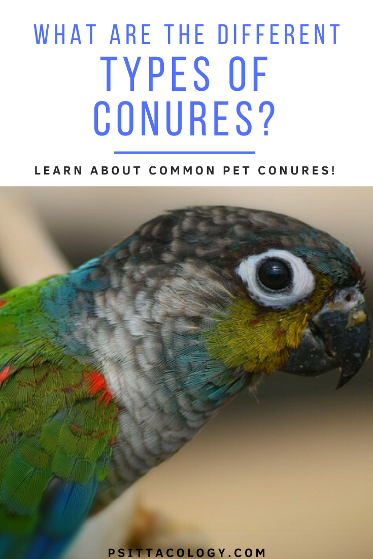 Colorful conure parakeet | List of types of conures