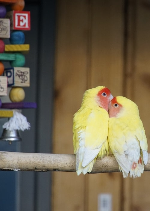 Two yellow lovebirds with red faces cuddling on branch. | Guide to what parrots talk
