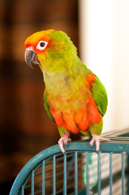Orange and green conure parrot sitting on cage. | Where do parrots live?