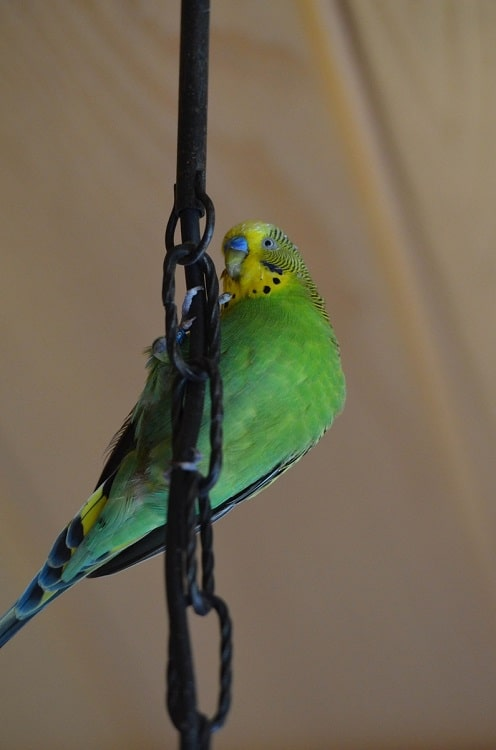 Wild type Budgerigar clinging onto wire structure.