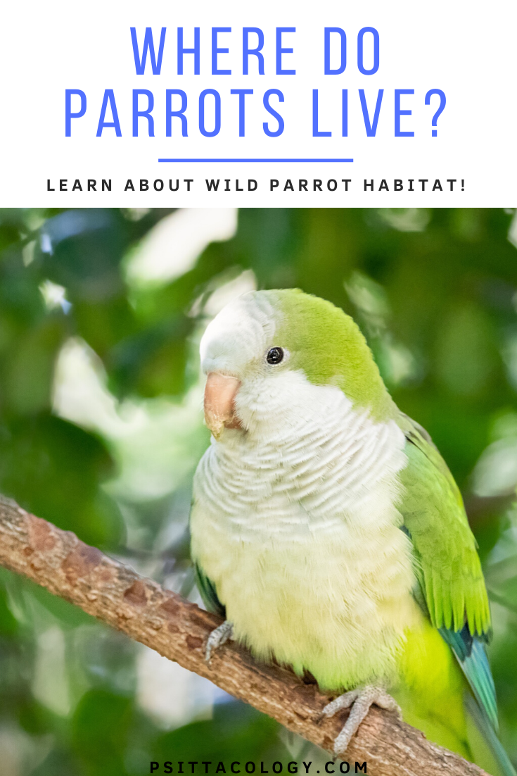 Quaker parrot perched on branch with blurred leaf background | Where do parrots live?