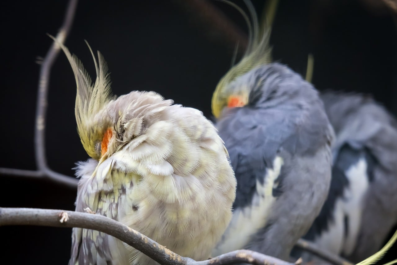 Three cockatiels in a row sleeping on a branch with heads tucked into feathers.