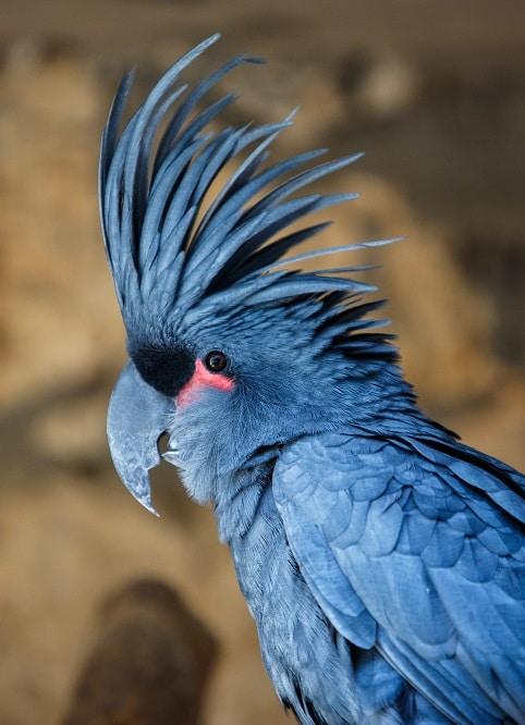 Black palm cockatoo.