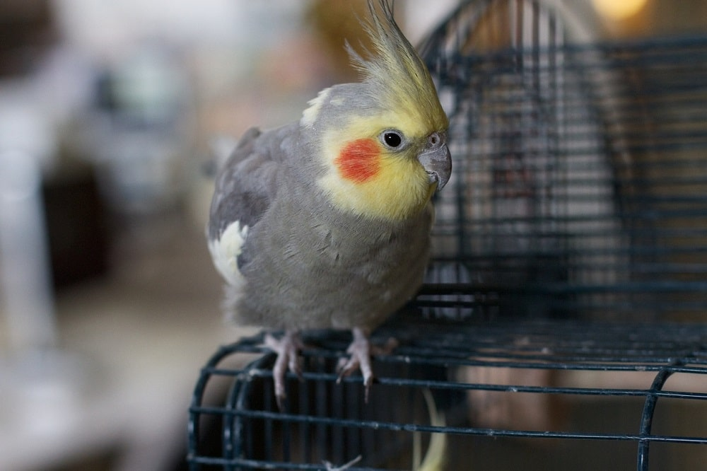 Grey cockatiel parrot with yellow face sat on cage.