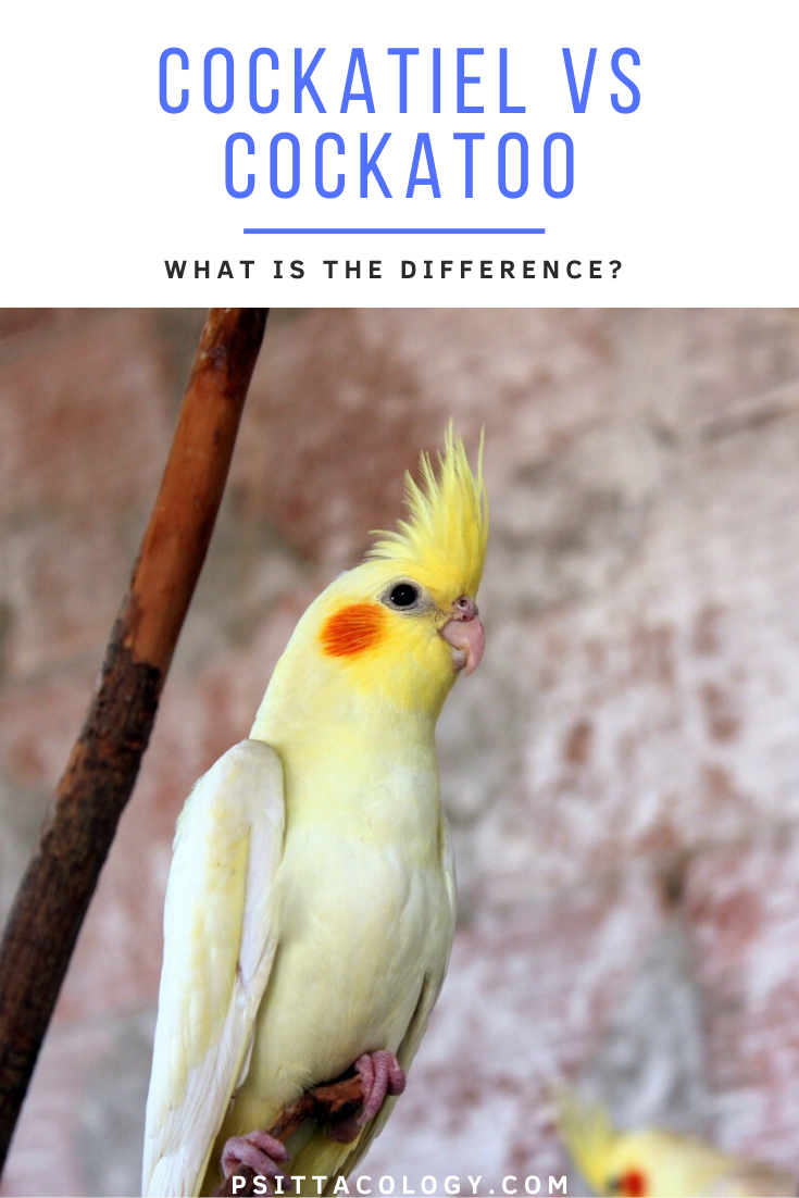 Yellow cockatiel parrot | Guide to the differences and similarities between cockatiel vs cockatoo.