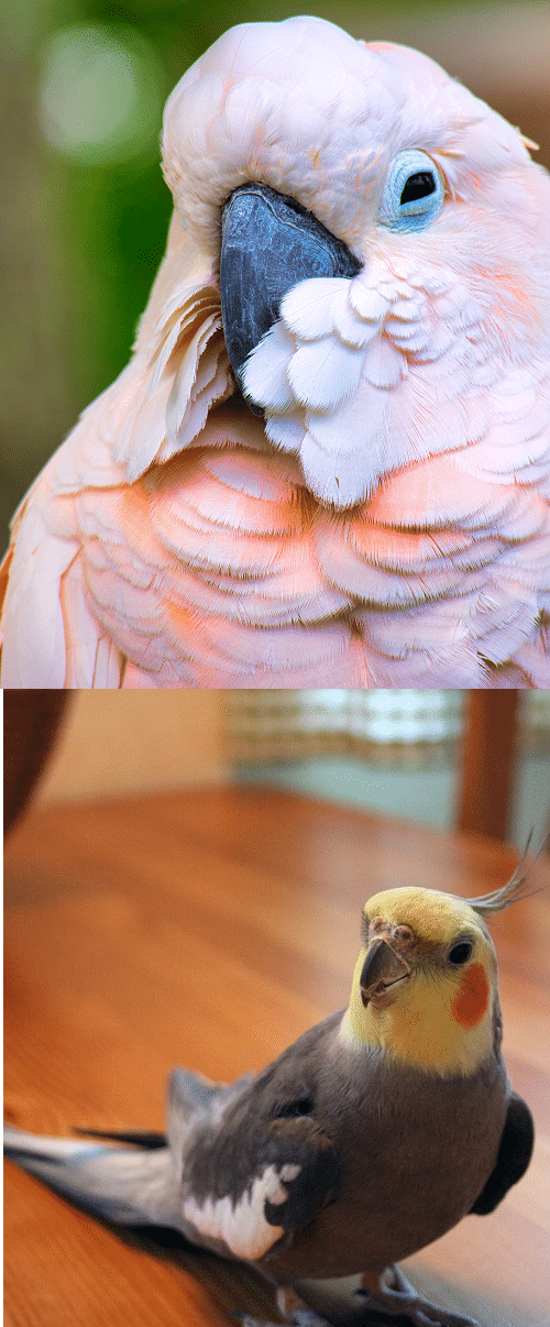 Comparison image between a cockatoo vs cockatiel. | Guide to the differences and similarities between cockatiel vs cockatoo.